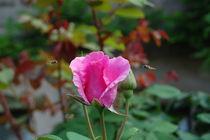 Der Duft der Rosen by julita