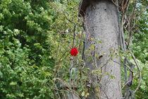 Rote Rose im Wildgarten von julita