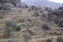 Terrassen mit Olivenbäumen von julita