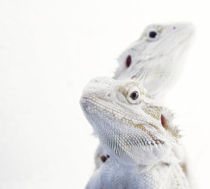 Snowraptors by Armin Burkhardt
