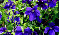 Blaue Clematis by anoreng
