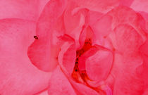 Rose mit Käfer von anoreng
