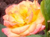 Die Schönheit der Rose by anoreng