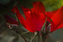 Geheimnisvolle Rosen by Mandy Tabatt