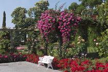 Rosenpracht von Victoria Garden