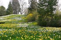 Narzissenwiese von Victoria Garden