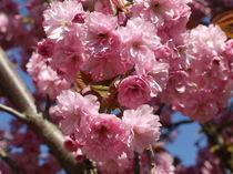 Japanische Kirschblüten von Victoria Garden