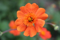 Orange Flower by jcb