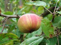 Apfel by Ka Wegner