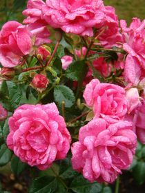 Rosen im Regen von Ka Wegner