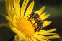 Honigbiene by Katharina Kascelan