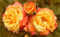 Einfach Rosen by myfoto
