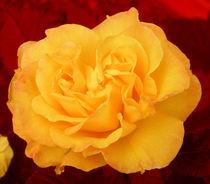 Duplex - Rose by myfoto