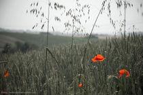 Blume im Feld by asphoto