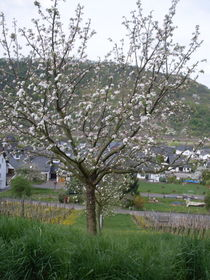 blühender Baum by monika beging
