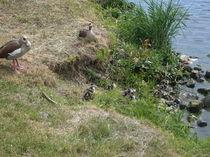 Eine Entenfamilie am Ufer der Mosel by monika beging