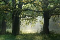Eichen im Kühnauer Park von Sebastian Kaps