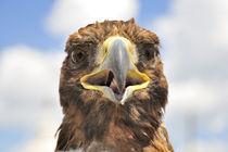 Adler - Mongolei von Johann Loigge