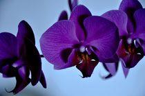 Lila Orchidee von Kerstin Bonse