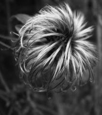 Winterclematis von lisafotografie