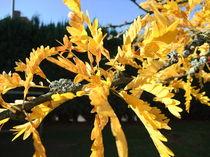 Lederhülsenbaum, Blätter im Herbst von Dan Krueger