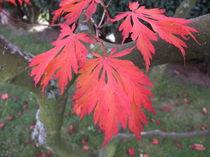 Japanischer Blutahorn im Herbst by Dan Krueger