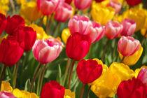 A lot of tulips von AD DESIGN Photo + PhotoArt