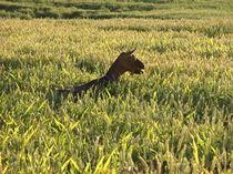 Eine Ziege im Kornfeld von sansara