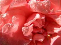 Rosenblätter von sansara