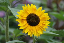 Sunflower by kattobello