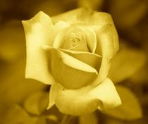 Yellow Rose by kattobello