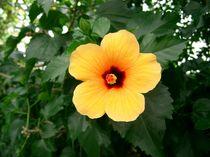 Gelber Hibiskus von kattobello