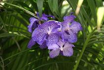 Lila Orchidee im Palmengarten von kattobello
