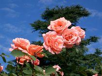 Rosa Rosenzweig von kattobello