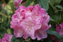 Rosa Rhododendron Blüte von kattobello