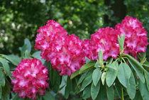 Rosa Rhododendron Zweig von kattobello