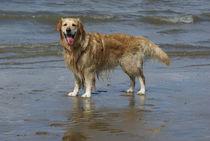 Goldie an der Nordseeküste von kattobello