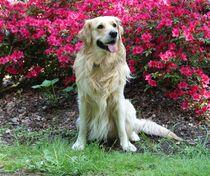 Goldie vor rosa Azaleen von kattobello