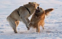 Golden Fight von kattobello