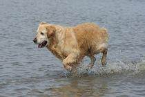 Goldie im Wattenmeer 2 von kattobello