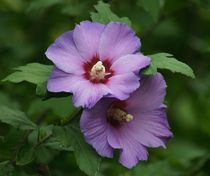Violette Malve von kattobello