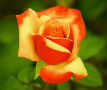 Rose Power von kattobello