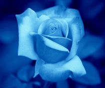 Blue Rose von kattobello