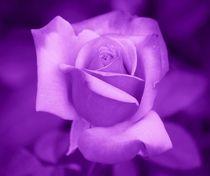 Violett Rose von kattobello