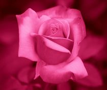 Pink Rose by kattobello