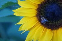 Bienchen im Sonnenblümchen von kattobello