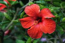 Roter Hibiskus von kattobello