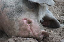 Schweinevisage by kattobello