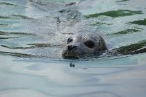 Nordseehund von kattobello