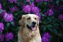 Goldie vor lila Rhododendron von kattobello